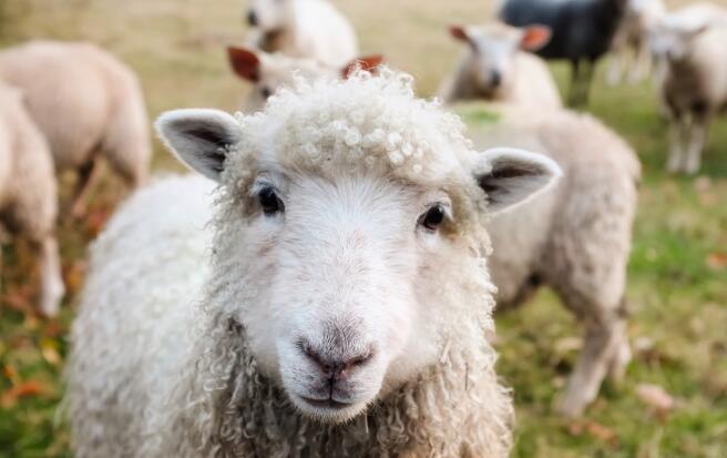 为什么大家都选择购买原装进口羊奶粉呢?
