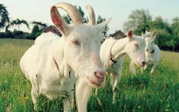 早产儿能喝羊奶粉吗